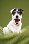 g�hnender Parson Russell Terrier Welpe / yawning PRT puppy