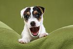 g�hnender Parson Russell Terrier Welpe / yawning PRT puppy