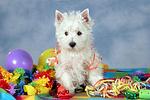 stehender West Highland White Terrier Welpe / standing West Highland White Terrier Puppy