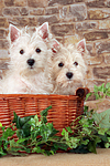 West Highland White Terrier Welpen / West Highland White Terrier Puppies