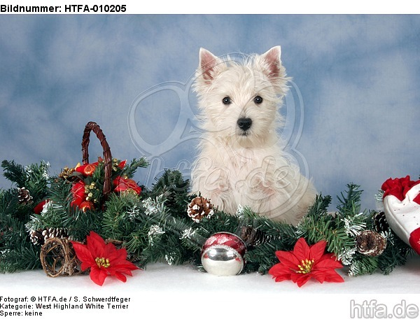 sitzender West Highland White Terrier Welpe / sitting West Highland White Terrier Puppy / HTFA-010205