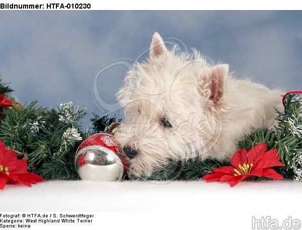 West Highland White Terrier Welpe / West Highland White Terrier Puppy / HTFA-010230
