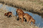 Ridgeback Ridgebacks und Rehpinscher / ridgeback ridgebacks and miniature pinscher