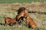 Ridgeback Ridgebacks und Zwergpinscher / ridgeback ridgebacks and miniature pinscher