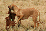 Rhodesian Ridgebacks und Zwergpinscher / rhodesian ridgebacks and miniature pinscher