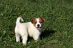 Jack Russell Terrier Welpe / jack russell terrier puppy
