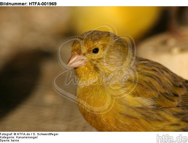Kanarienvogel / canary / HTFA-001969