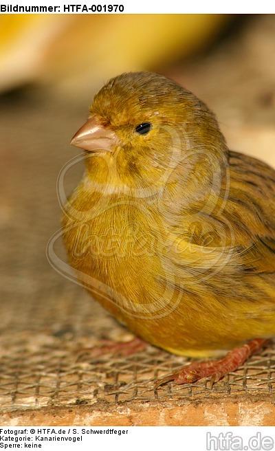 Kanarienvogel / canary / HTFA-001970