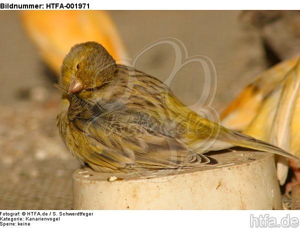 Kanarienvogel / canary / HTFA-001971