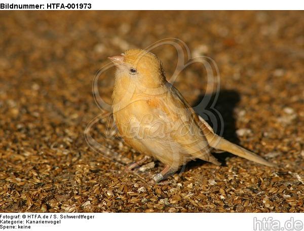 Kanarienvogel / canary / HTFA-001973