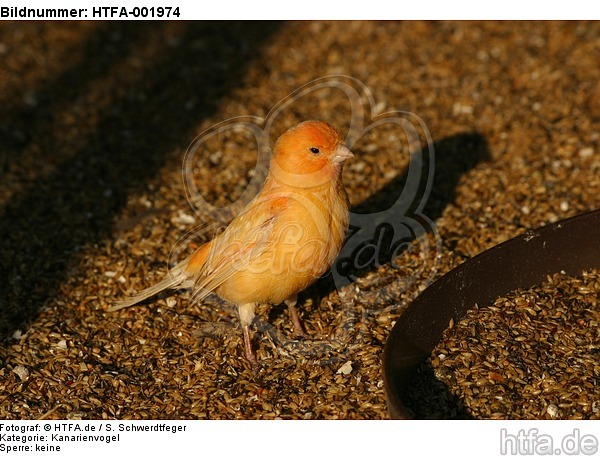 Kanarienvogel / canary / HTFA-001974