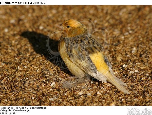 Kanarienvogel / canary / HTFA-001977
