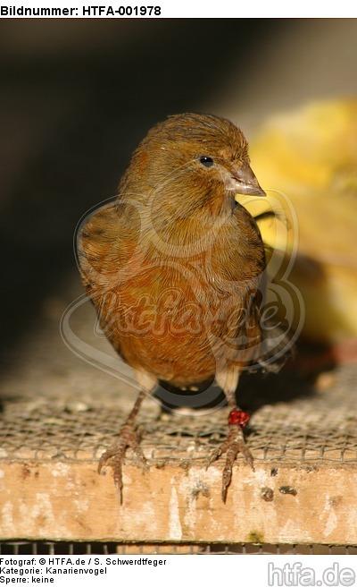 Kanarienvogel / canary / HTFA-001978