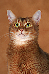 Abessinier / abyssinian cat