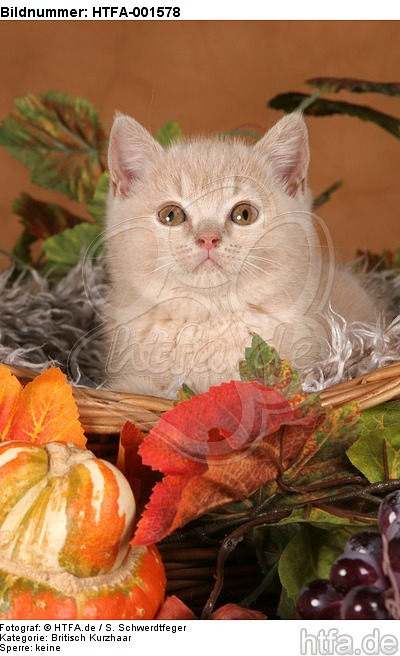 Britisch Kurzhaar K�tzchen / british shorthair kitten / HTFA-001578