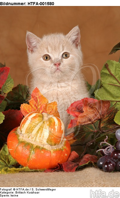 Britisch Kurzhaar K�tzchen / british shorthair kitten / HTFA-001580