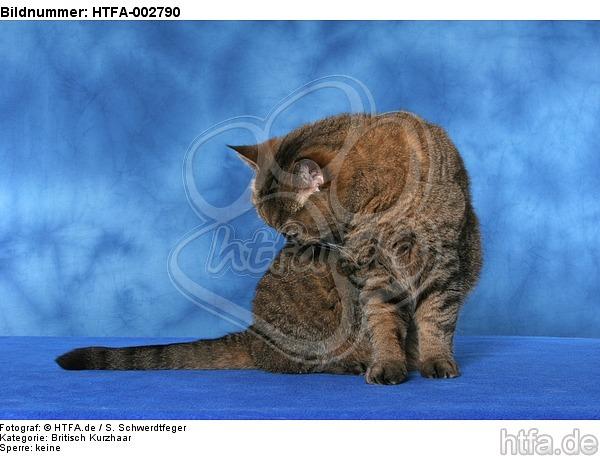 Britisch Kurzhaar / british shorthair / HTFA-002790