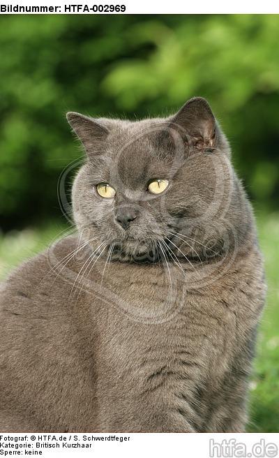 Britisch Kurzhaar K�tzchen / british shorthair kitten / HTFA-002969
