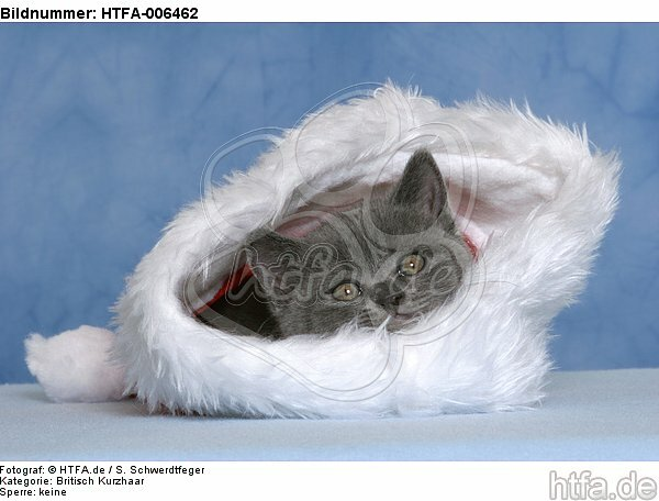 Britisch Kurzhaar K�tzchen / british shorthair kitten / HTFA-006462