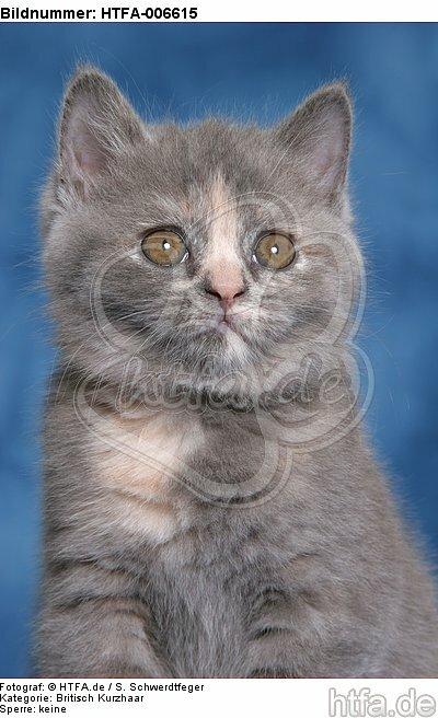 Britisch Kurzhaar K�tzchen / british shorthair kitten / HTFA-006615