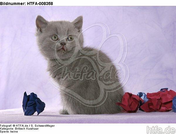 sitzendes Britisch Kurzhaar K�tzchen / sitting british shorthair kitten / HTFA-008358