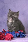 sitzendes Britisch Kurzhaar K�tzchen / sitting british shorthair kitten