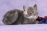 liegendes Britisch Kurzhaar K�tzchen / lying british shorthair kitten