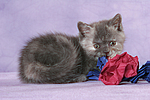 spielendes Britisch Kurzhaar K�tzchen / playing british shorthair kitten