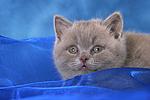 Britisch Kurzhaar K�tzchen Portrait / british shorthair kitten portrait