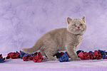 stehendes Britisch Kurzhaar K�tzchen / standing british shorthair kitten