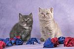 2 sitzende Britisch Kurzhaar K�tzchen / 2 sitting british shorthair kitten