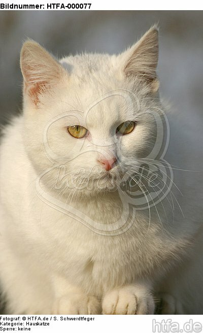 wei�e Hauskatze / white domestic cat / HTFA-000077