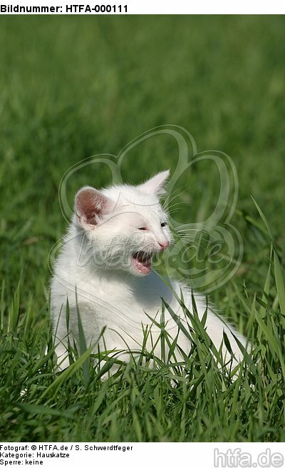 mauzendes K�tzchen / mewing kitten / HTFA-000111