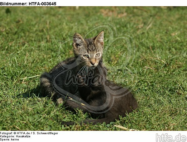 K�tzchen / kitten / HTFA-003645