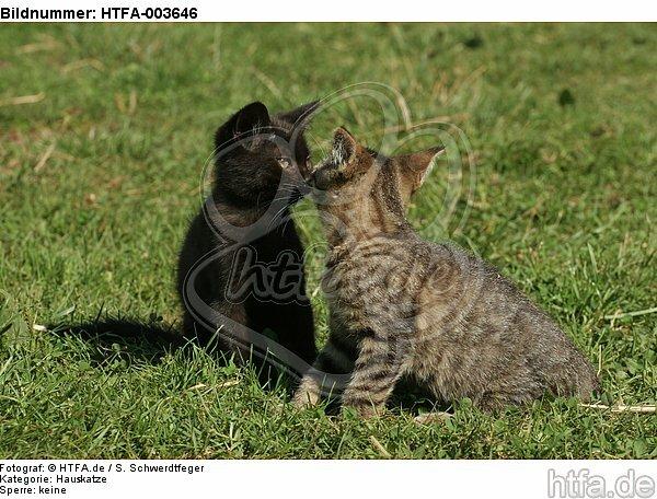 K�tzchen / kitten / HTFA-003646