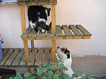 Parson Russell Terrier und Hauskatze / PRT and domestic cat