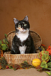 sitzende Hauskatze / sitting domestic cat