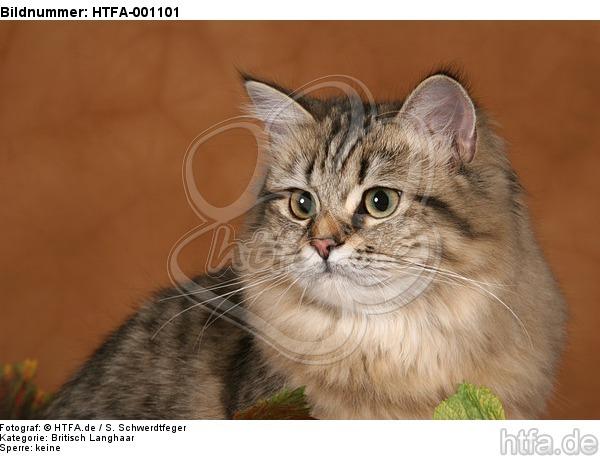 Britisch Langhaar Portrait / Highlander portrait / HTFA-001101