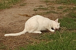 Hauskatze fri�t Maus / domestic cat eats mouse