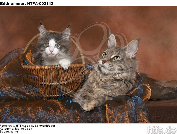 Maine Coons / HTFA-002142