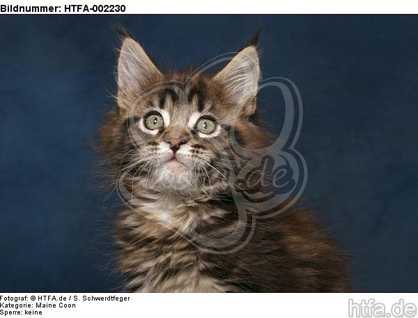 Maine Coon K�tzchen / maine coon kitten / HTFA-002230