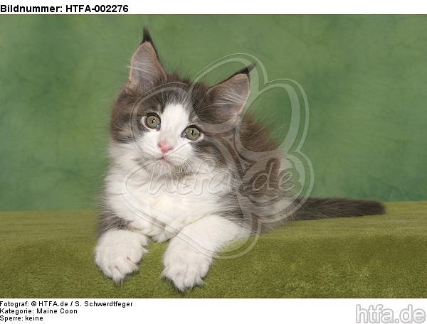 Maine Coon K�tzchen / maine coon kitten / HTFA-002276