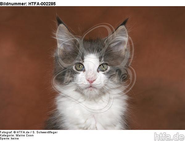 Maine Coon K�tzchen / maine coon kitten / HTFA-002285