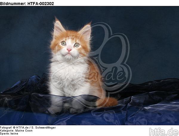 Maine Coon K�tzchen / maine coon kitten / HTFA-002302