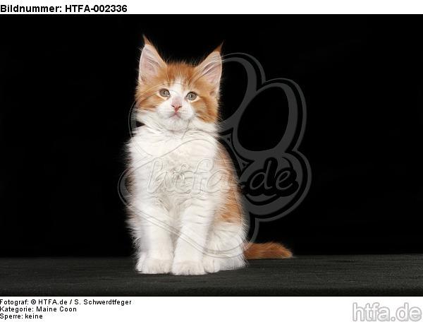 Maine Coon K�tzchen / maine coon kitten / HTFA-002336