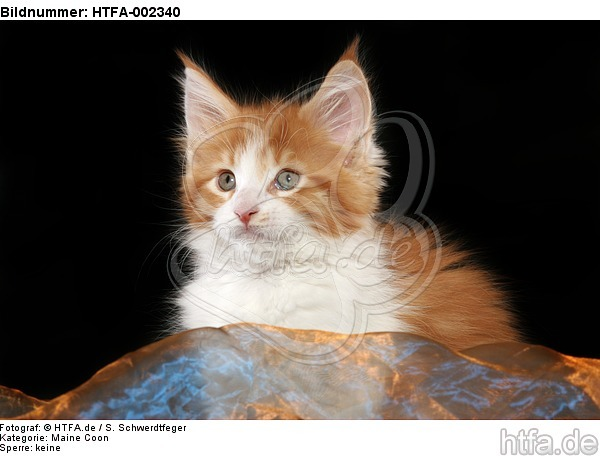 Maine Coon K�tzchen / maine coon kitten / HTFA-002340