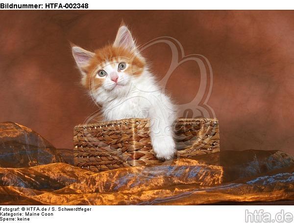 Maine Coon K�tzchen / maine coon kitten / HTFA-002348