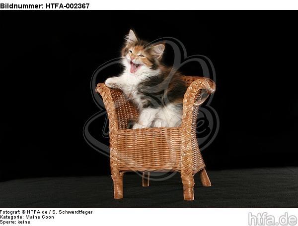 Maine Coon K�tzchen / maine coon kitten / HTFA-002367