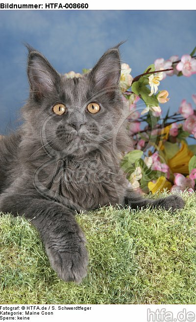 junge Maine Coon / young maine coon / HTFA-008660