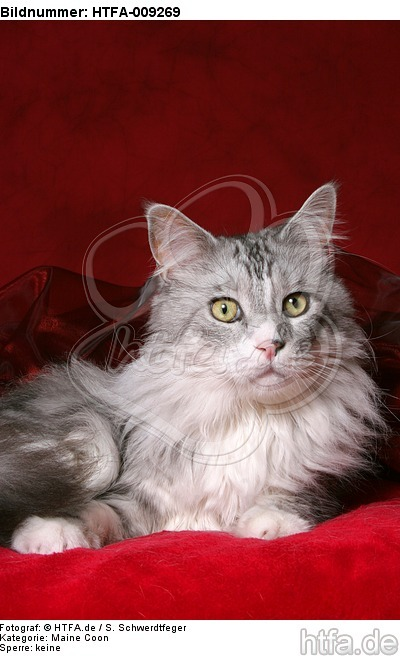 liegende Maine Coon / lying Maine Coon / HTFA-009269